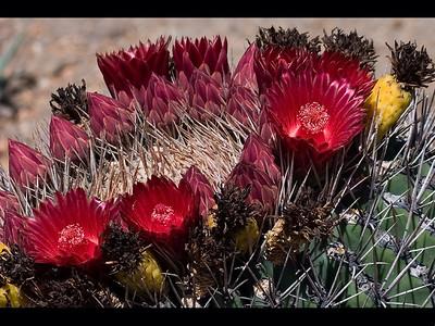 Cactus Flower Garden S. Prokop