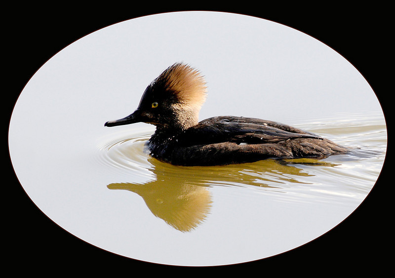 Intermediate - Color   Hooded Merganser May Haga  Score: 25.0/30  Print of the Month  Nikon D300, f7.1, ISO 640, 400mm