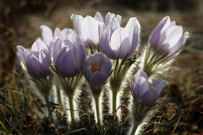 A-CO-Spring Crocuses-SuchanL