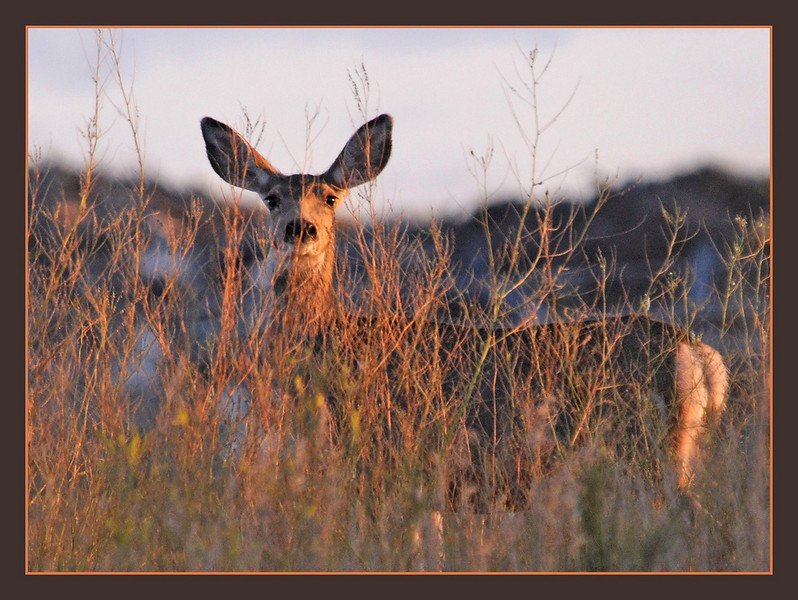 I-CO-Deer_at_Sunrise-HagaM