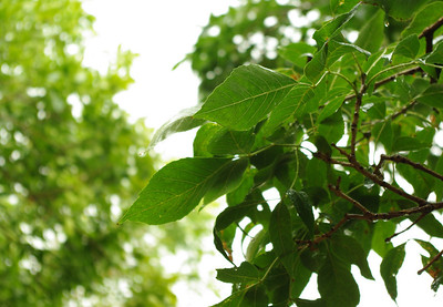 I-CO-More_Generic_Rainy_Leaves-VineJ