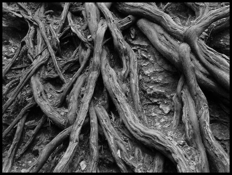 I-BW-Spaghetti_Roots-BuchananK
