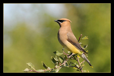 Intermediate - Creative   Waxwing May Haga  Score: 24.0/30  Print of the Month