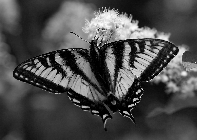 Intermediate - B&W/Monochrome  Butterfly Len Suchan  Score: 23.3/30  Digital Image of the Month  Canon 20D, f5.6, ISO 400, 135mm