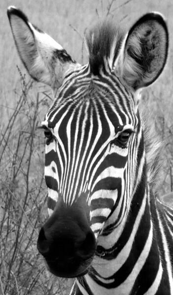 I-BW-Z_is_for_Zebra-HamelH