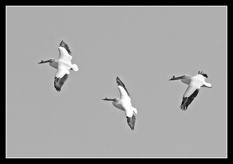 I-BW-Pelicans-HagaM