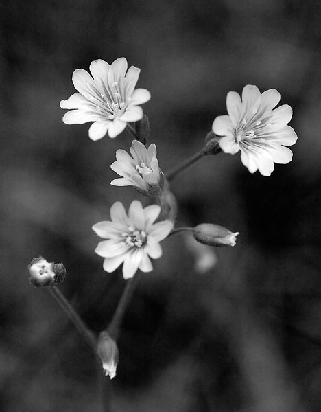 I-BW-Wild_Flower-SuchanL