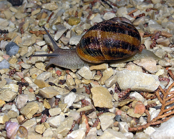I-CO-Im_Too_Young_to_be_an_Escargot-FransonG