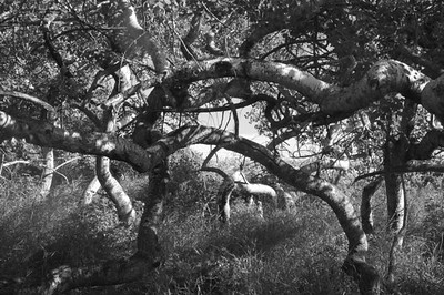 I-BW-Nature-Crooked Trees-Maitland-WhitelawL