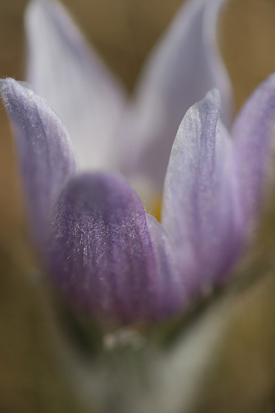 A-CO-Prairie_Crocus-SuchanL