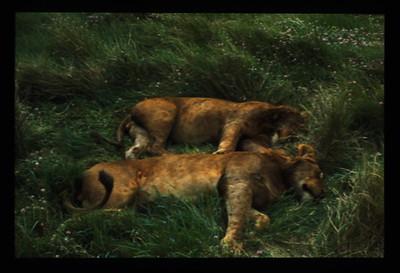 A-CO-Sleeping_Lions-RiemerD