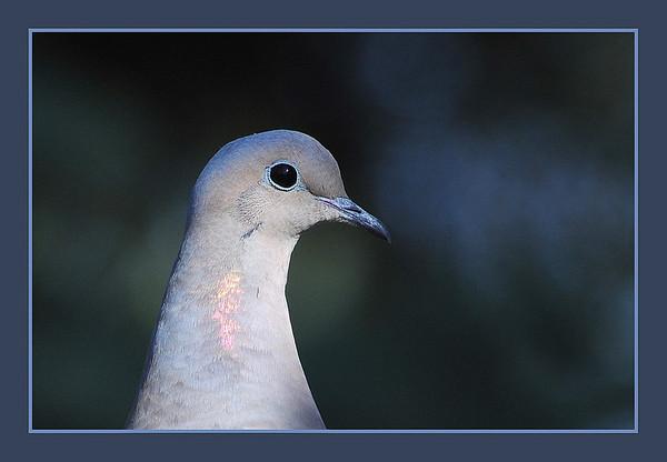 I-CO-Peace_Dove-HagaM