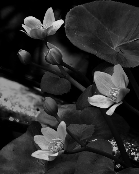 I-BW-Water_Lillies-SmithT