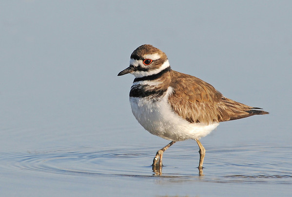 Intermediate - Colour	   Killdeer May Haga Score: 25.7/30  Print of the Month