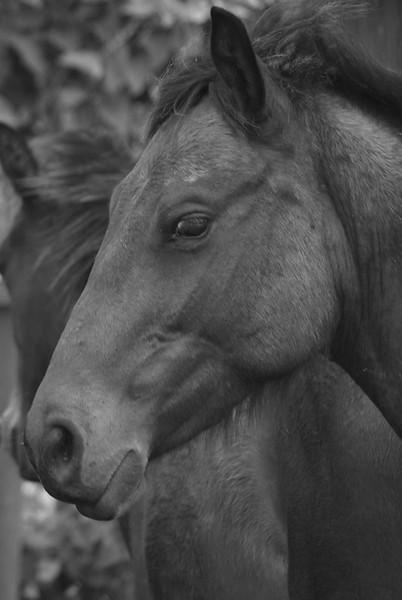 I-BW-Two Horses -Maitland-WhitelawL