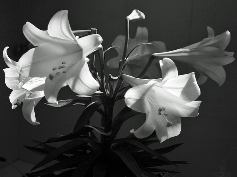 I-BW-Lillies-SutherlandI