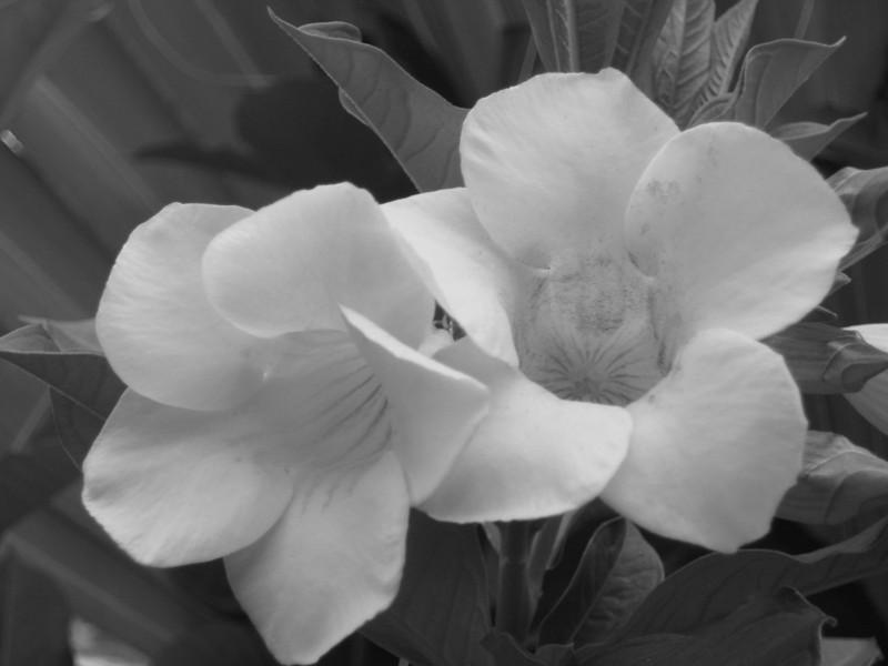 I-BW-Flower-GlombowskiE