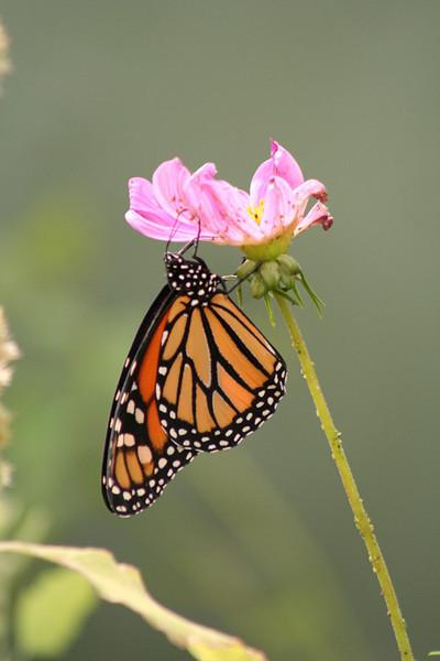 I-CO-Butterfly-GlombowskiErin