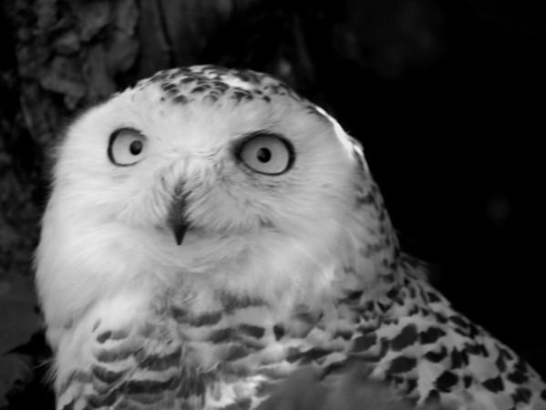 A-BW-Snow_Owl-LongJ