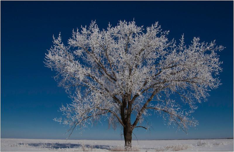 CO-Frosty_the_Maple_Tree-BarnhillB