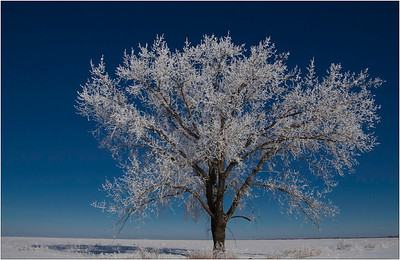 CO-Frosty_the_Maple_Tree-BarnhillB
