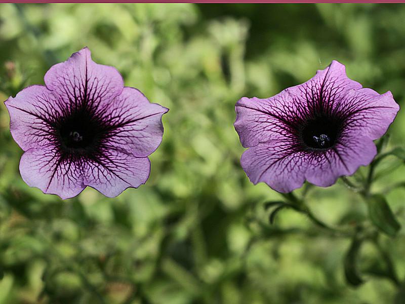 CO-Deep_ Purple-SutherlandI