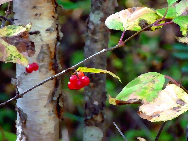 AR-Boreal Berries-Gayvin Franson