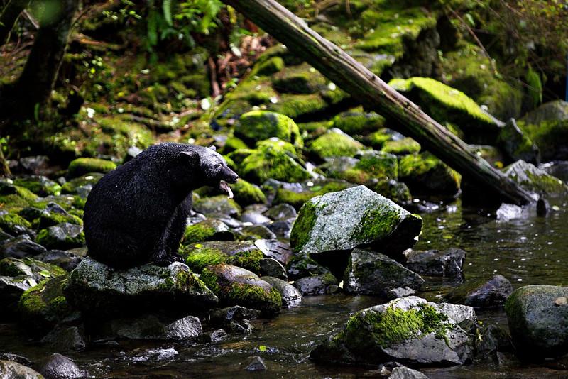 TR-A Big Black Bear Sat on a Big Blue Boulder-Karen Pidskalny
