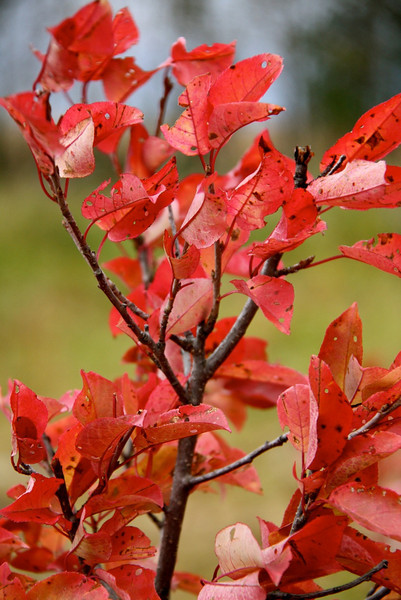 TR-Red Leaves-Hilda Noton