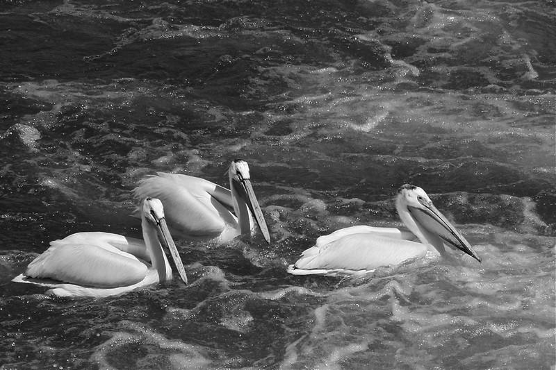 BW-Pelicans-Hilda Noton
