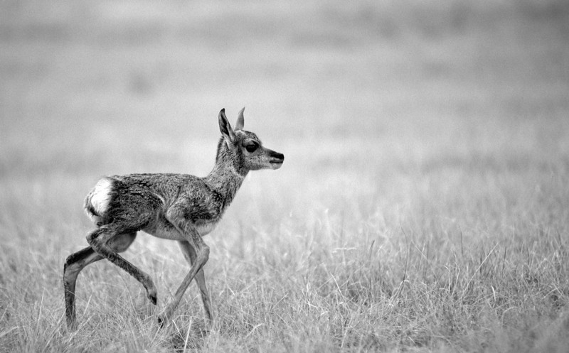 BW-This Antelope's First Steps are Lacking Color & Contrast-Frank Johnson