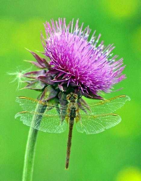 TR-Dragonfly and Thistle-Sherry Duncan Paterson