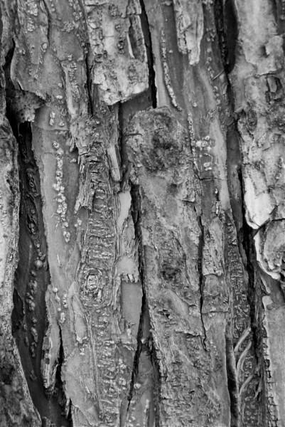 BW-Elm Tree Bark-Hilda Noton