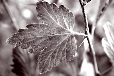BW-Leaf in Relief-BrendaRose Bellenie-Wynne
