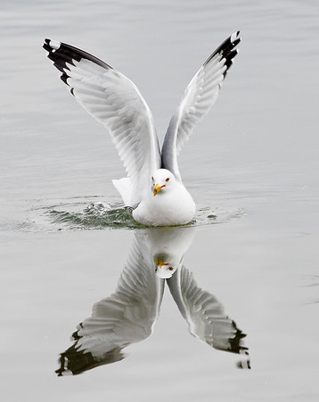 TR-Gull Reflection-Judy Wood