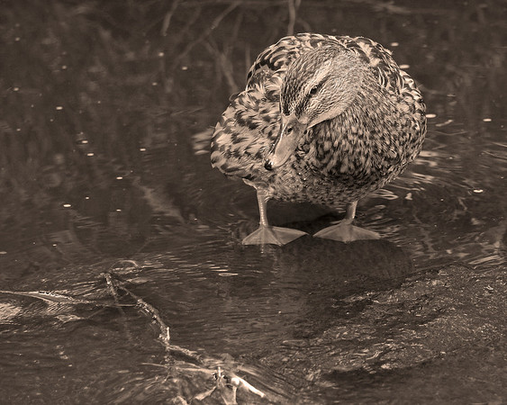 BW-My Mallard Moment-Howard Brown