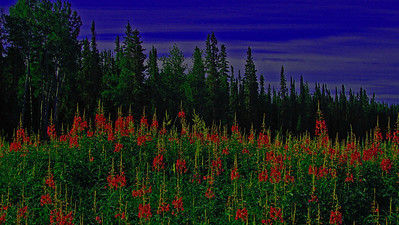 AR-Fireweed in the Boreal-Frank Johnson