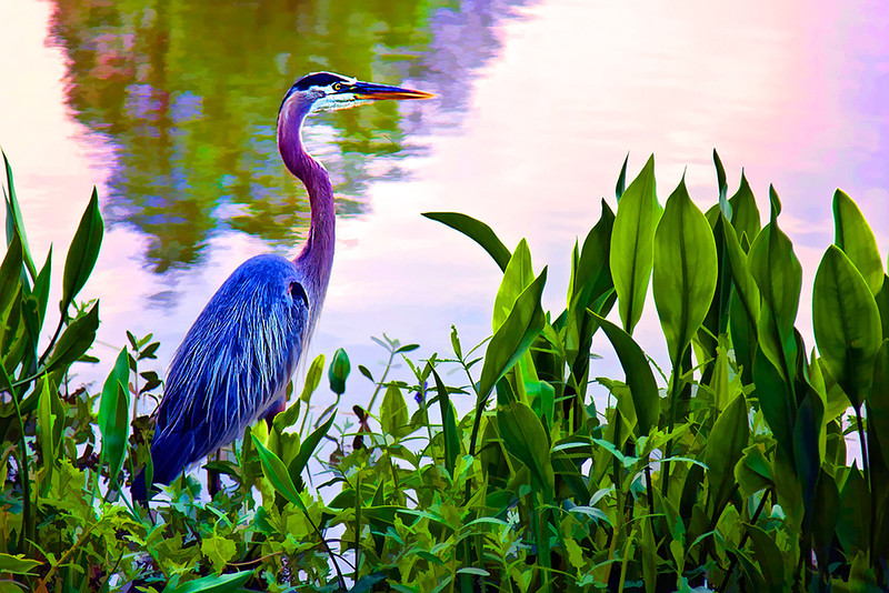 The Great Blue Heron (Ardea herodias) is a large wading bird in the heron family Ardeidae, common near the shores of open water and in wetlands over most of North and Central America.