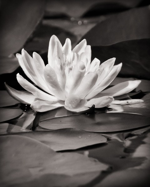 BW-Resting among the Lily Pads-Ken Greenhorn
