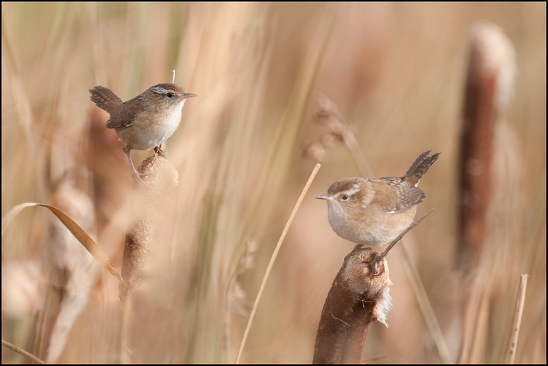 AR-Mystical Marsh Wrens-May Haga