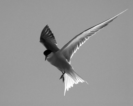 BW-Tern in Flight-Gerald Galbraith