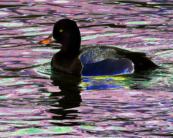 AR-Greater Scaup Fantasy-Howard Brown