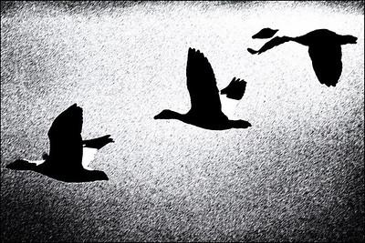 AR Print-Snowy Geese-Betty Calvert