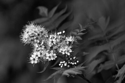 BW-Tiny Blossoms-Michelle Lane