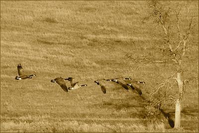 BW Print-Golden Geese-Betty Calvert
