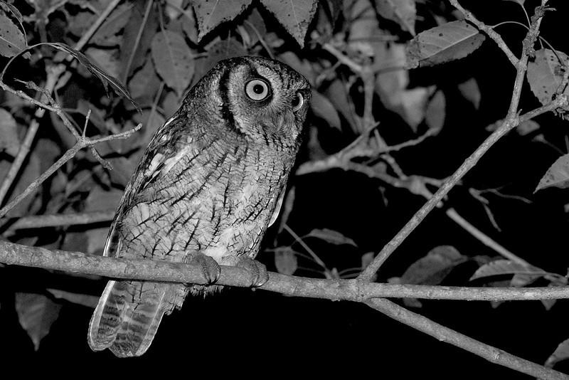 BW-Night Owl-May Haga