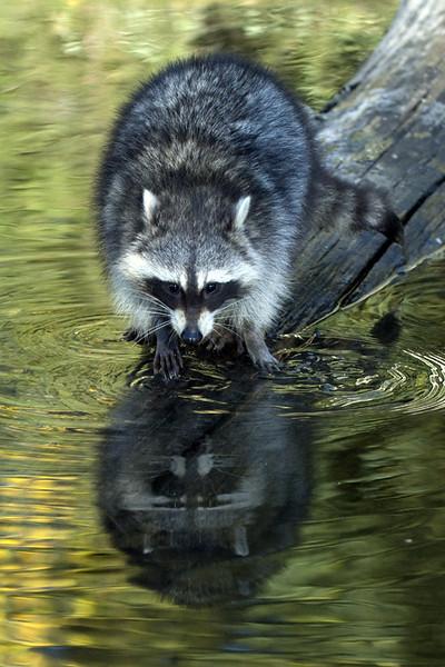 TR-Raccoon-Gerald Galbraith