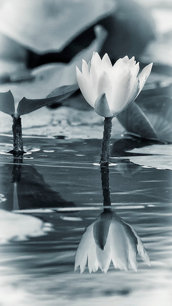 BW-Water Lily-Ken Greenhorn