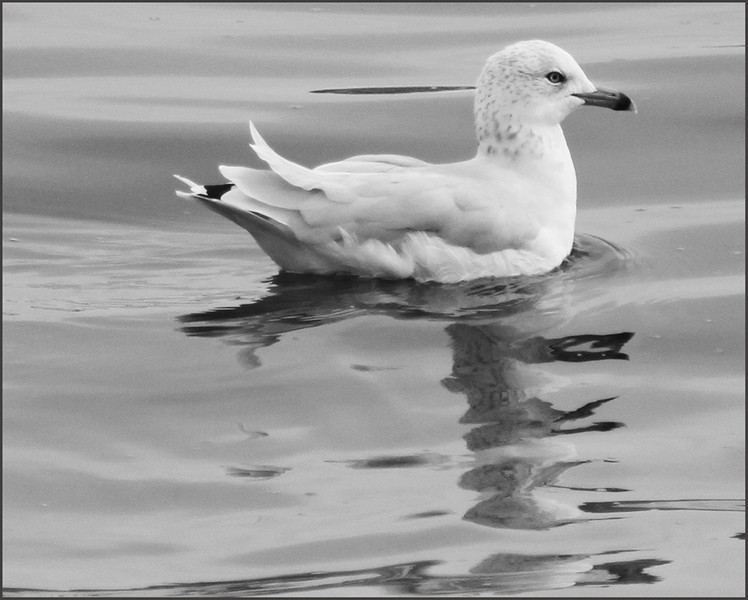 BW-Gull on the Lake-Betty Calvert