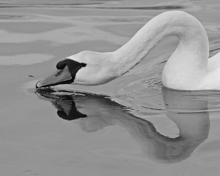 BW-Mute Swan Sips-Howard Brown